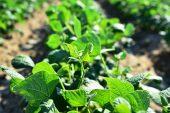 Çanakkale'nin kuru fasulyesinin tohumları bitkiye dönüştü