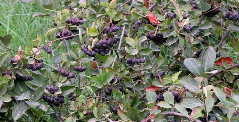 """Bağışıklığı güçlendirici meyveler """"aronya"""" ve """"mürver""""in hasadı yapılıyor"""