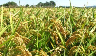İpsala'da çeltik hasadı başladı…