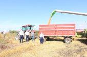 Edirne'de çeltik hasadı devam ediyor