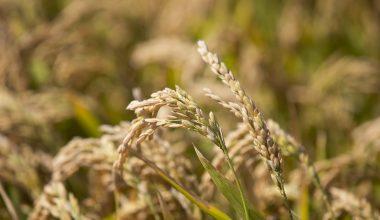 Edirne'de çeltik üreticileri hasat mesaisinde