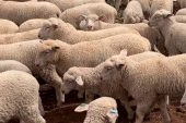 Kayıp hayvanları bulunan besiciye 16 bin lira ceza!