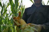 Yerli mısır tohumları çiftçilerden tam not aldı