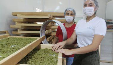 """Kadın girişimci, """"atalık"""" tohumlardan düşük glütenli makarna üretiyor"""