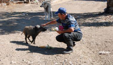 Köpek saldırısından kurtardığı yaban domuzu yavrusunu evcilleştirdi