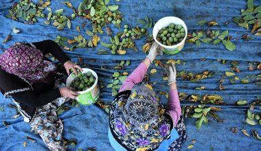 """""""Marmara'nın ceviz ambarı""""nda hasat mesaisi başladı"""
