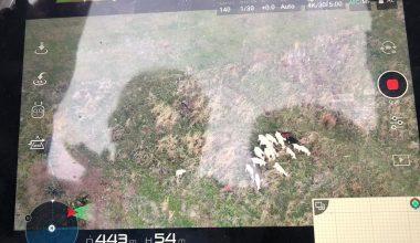Ormanda kaybolan koyunlar, drone yardımıyla bulundu