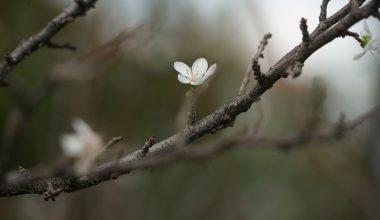 Kasım ayında çiçek açan erik ağaçları görsel şölen sundu