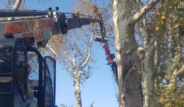 Asırlık çınar ağaçlarının röntgeni çekildi