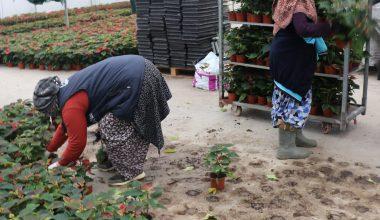 Kovid-19 salgınında evde kalanlar süs bitkilerine talebi arttırdı