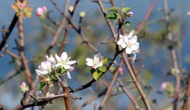 Yalancı bahara aldanan meyve ağaçları çiçek açtı