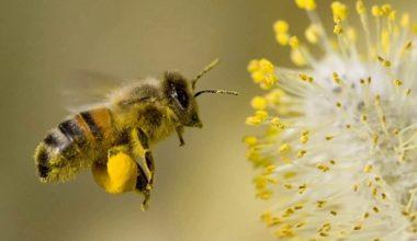 Türk bilim insanları arıların gen haritasını çıkaracak