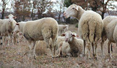 """""""Tescilli"""" kuzu, damızlık merkezlerinde yetiştirip üreticiye hibe edecekler"""