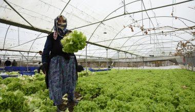 Bilecik'teki seralarda marul ve yeşil soğan hasadı başladı