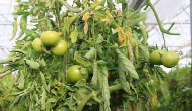 Yöneticilik kariyerini bırakıp devlet desteğiyle kurduğu serada sebze üretiyor
