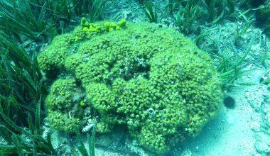"""Akdeniz ekosisteminde """"resif oluşturabilen tek sert mercan türü"""" bilinçsiz avlanmayla yok oluyor"""