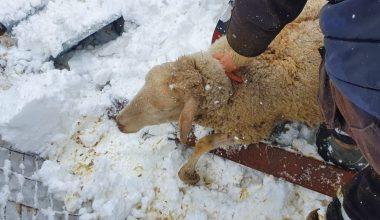 Kar nedeniyle çöken damın altında kalan 10 koyun telef oldu