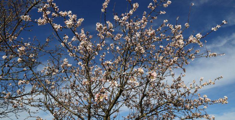 Edirne'de yalancı bahara aldanan ağaçlar çiçek açtı