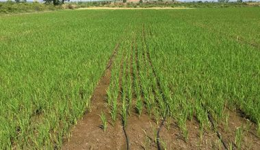 Enez'de çeltik yetiştiricilerine hibe ve tohum desteği