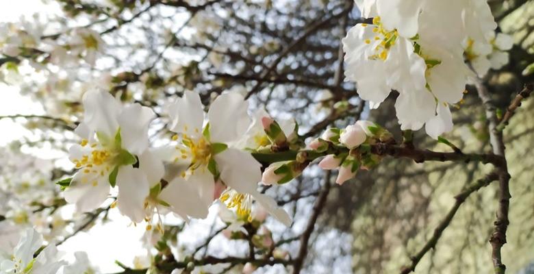Keşan'da, meyve ağaçları çiçek açtı