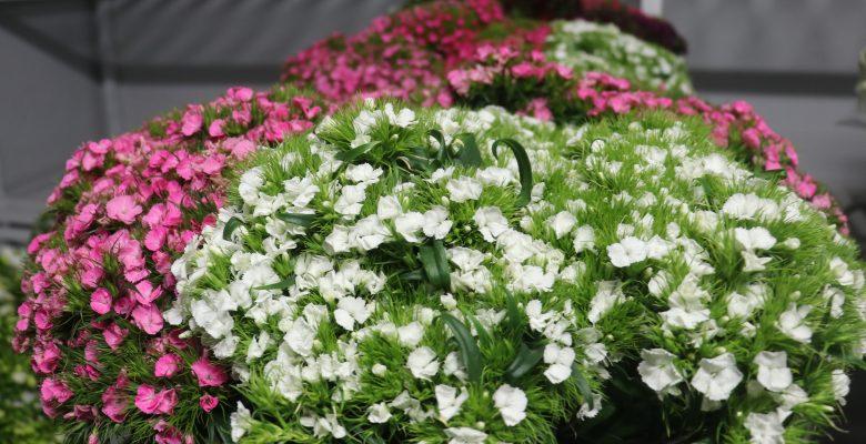 Yalova'daki çiçek mezatlarında Sevgililer Günü öncesi satışlar 3 kat arttı