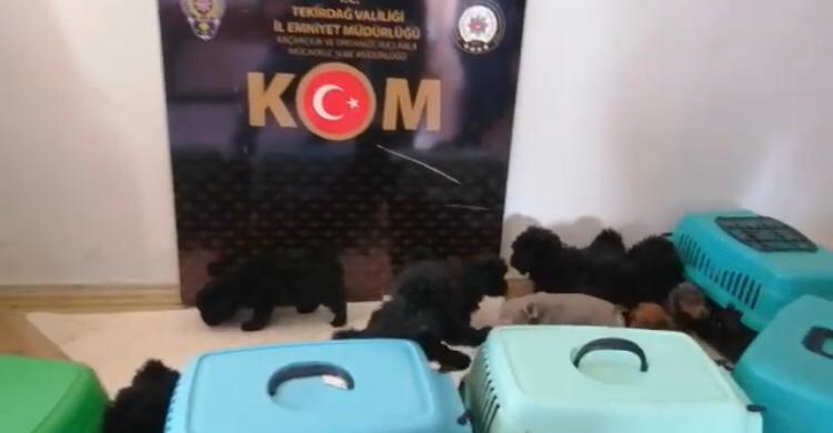 Tekirdağ'da yurt dışından kaçak sokulan 13 cins yavru köpek yakalandı