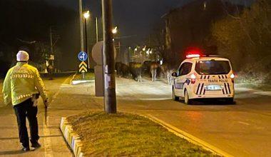 Yolda başıboş şekilde dolaşan 20 büyükbaş hayvan, polis ekiplerince sahiplerine teslim edildi