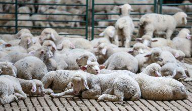 AB fon desteğiyle kurulan çiftlik damızlık koyun talebine yetişemiyor