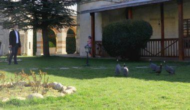 Edirne'deki çevreci caminin bahçesinde Afrika cinsi tavuklar ilgi çekiyor