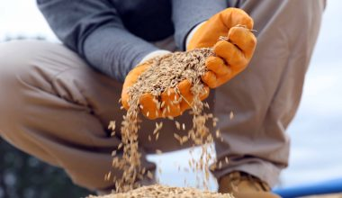 Üreticiler, ellerinde kalan çeltikleri TMO'ya getirmeye devam ediyor