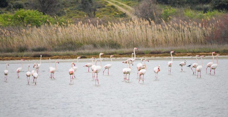 Tarihi Gelibolu Yarımadası flamingolarla ayrı bir güzelliğe büründü
