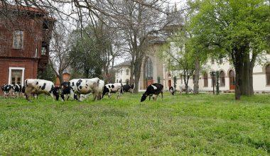 """Üniversite kampüsünde çimler """"hayvan otlatma yöntemiyle"""" biçildi"""