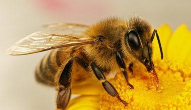 Arı ölümlerine karşı kanola üretiminde ruhsatlı ve zararsız ilaçların kullanılması önerildi
