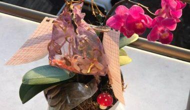 Hıdrellez'de çiçek köküne dilek kağıdı