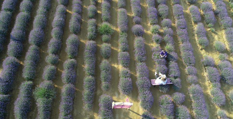 Tekirdağ'da göz alıcı mor renkli tarlalar fotoğraf tutkunlarının ilgisini çekiyor