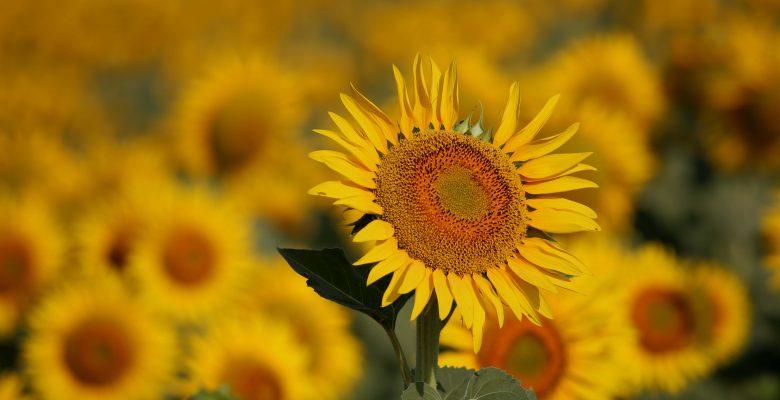 Ayçiçeklerinin oluşturduğu sarı şölen…