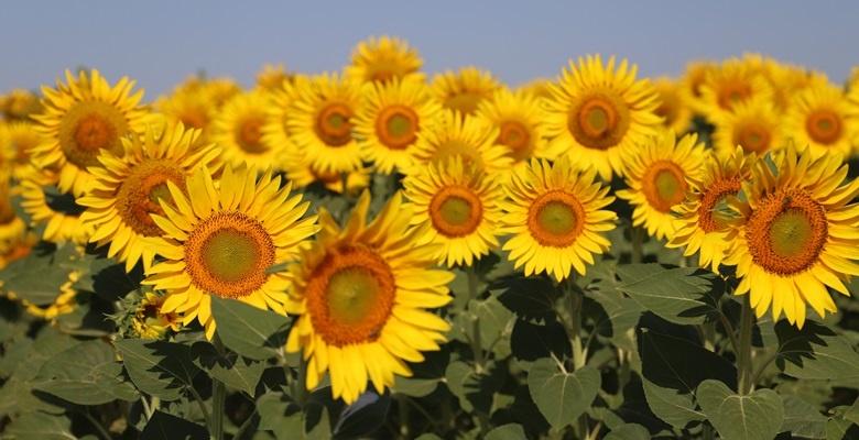 Trakya Birlik ayçiçeği avans ödemesi fiyatlarını açıkladı
