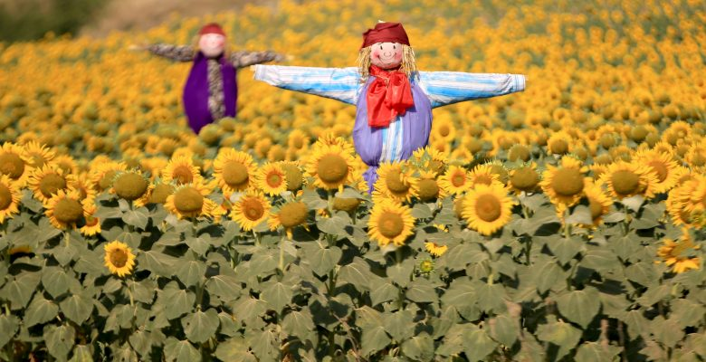 "Pehlivanköy'de ""Ayçiçeği ve Korkuluk Festivali"""