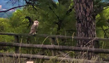 Bakımı tamamlanan peçeli baykuş doğaya salındı
