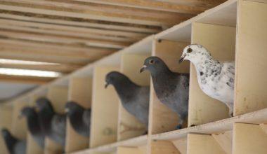 """Posta güvercinlerine """"Güvercin Oteli""""nde 5 yıldızlı bakım"""