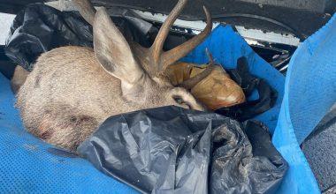 Kaza yapan pikaptan yasa dışı avlanan kızıl geyik çıktı